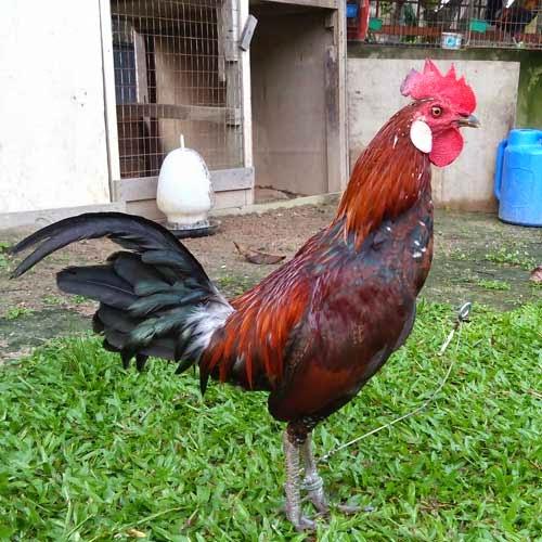 ayam-hutan-37